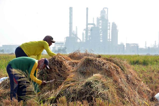 Para petani yang berasal dari desa penyangga kilang Balongan Kabupaten Indramayu, panen padi di lahan seluas 120 hektare. (Tomi Indra)