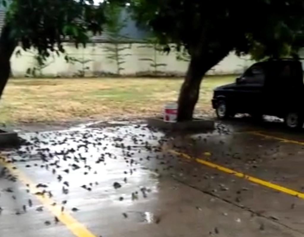 Burung Pipit Balai Kota Cirebon